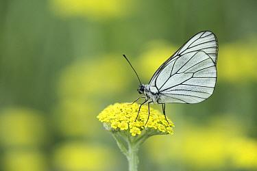 Black-veined white (Aporia crataegi) on Fern-leaf yarrow (Achillea filipendulina). Bulgaria. June.