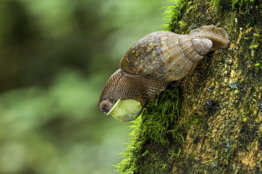 Predatory land snail (Euglandina gigantea) feeding on smaller snail. Mid-elevation cloud forest, Costa Rica