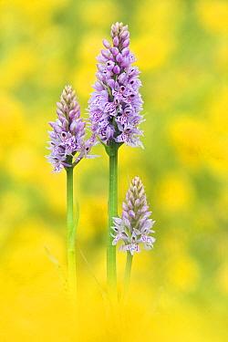 Common spotted orchid (Dactylorhiza fuchsii), three flowering amongst Buttercups. Dorset, England, UK. June.