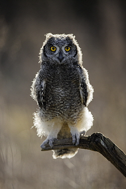 African spotted eagle owl (Bubo africanus) chick perched on branch, portrait. Captive.
