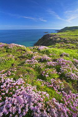 Thrift (Armeria maritima) on cliff top. Great Saltee Island, County Wexford, Republic of Ireland. June 2006.