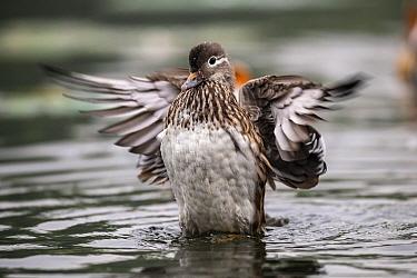 Mandarin duck (Aix galericulata) female stretching wings. Yuyuantan Park, Beijing, China