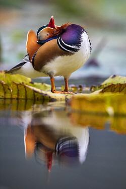 Mandarin duck (Aix galericulata) stretching neck back reflected in water, Yuyuantan Park, Beijing, China