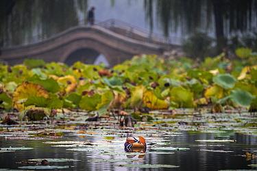 Mandarin duck (Aix galericulata) Yuyuantan Park, Beijing, China
