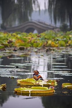 Mandarin duck (Aix galericulata) on lilypad, Yuyuantan Park, Beijing, China