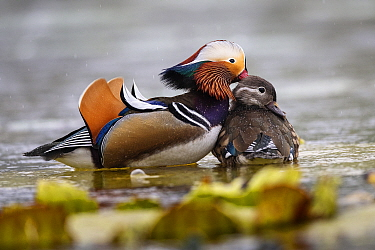 Mandarin duck (Aix galericulata) male female pair, Yuyuantan Park, Beijing, China