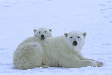 Polar bear (Ursus maritimus) mother and her yearling cub (age 22 months) resting near the edge of the sea ice in Western Hudson Bay, Wapusk National Park, Canada.
