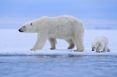 Polar bear (Ursus maritimus) female and her cub (age about 6 months ) walking on the last section of fast-ice near Nordaustlandet, Svalbard Archipelago, Norway, July.
