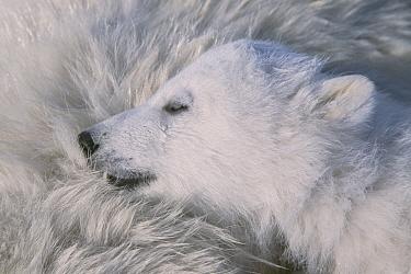Polar bear cub (Ursus maritimus) cub about three months old, sleeping on her mother. Wapusk National Park, Western Hudson Bay, Manitoba, February.