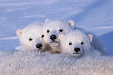 Polar bear cubs (Ursus maritimus) triplets age 2-3 months next to their mother. Wapusk National Park, Manitoba, Canada. Feburary