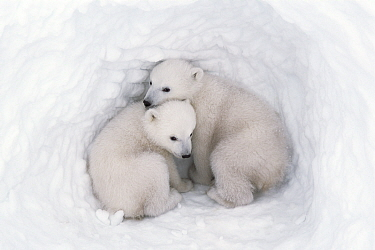 Polar bear (Ursus maritimus) cubs, age 2-3 months, in den, Wapusk National Park, Manitoba, Canada. March.