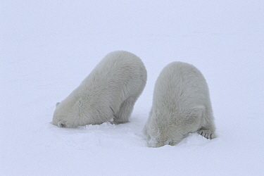 Polar bear (Ursus maritimus) cubs (age 10-11 months) playing together in the snow, mimicking their mother's hunting behaviour and pretending to break into a ringed seal's lair beneath the snow...