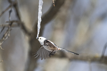Long-tailed tit (Aegithalos caudatus) feeding on an icicle formed from the sap of a painted maple tree (Acer pictum) in winter. Hokkaido, Japan. Sequence 1 of 2.