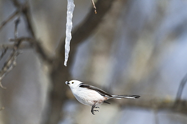 Long-tailed tit (Aegithalos caudatus) feeding on an icicle formed from the sap of a painted maple tree (Acer pictum) in winter. Hokkaido, Japan. Sequence 2 of 2.