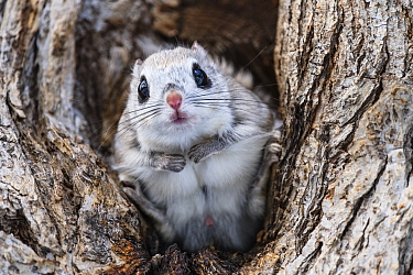 Japanese dwarf flying squirrel (Pteromys volans orii) male sitting in tree, portrait. Hokkaido, Japan. March