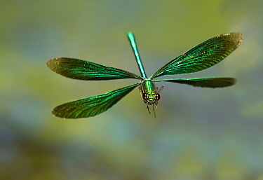 Beautiful Demoiselle damselfly (Calopteryx virgo), male flying, Wales, UK. Small repro only.