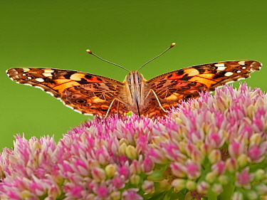 Painted lady butterfly (Vanessa cardui) feeding on sedum (Hylotelephium) in a garden. Wales, UK. Summer.