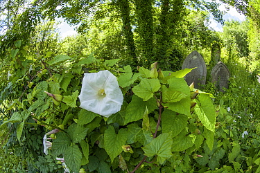 Greater bindweed (Calystegia sepum) on gravestone, Arnos Vale Cemetery, now disused, overgrown and a refuge for nature. Bristol, England, UK, June 2019,