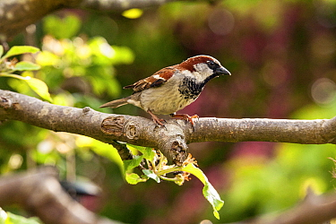 House Sparrow (Passer domesticus) male, perched on apple tree, Bristol, UK, May .