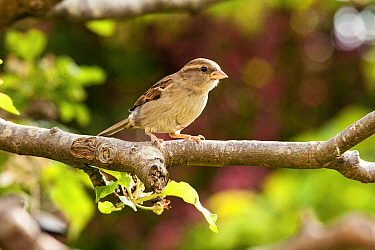 House Sparrow (Passer domesticus) female perched in apple tree, Bristol, UK, May.