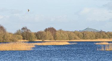 Marsh Harrier (Circus aeruginosus) distantly soaring above Avalon Marshes, a large area of wetland habitats, part of the Somerset Levels, near Glastonbury, Somerset, UK, Glastonbury Tor in background,...