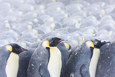 Emperor penguins (Aptenodytes fosteri) huddling in a storm, Antarctica.
