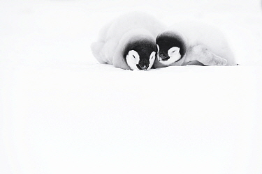 Two Emperor penguin (Aptenodytes fosteri) chicks aged 9-12 weeks, lying on their stomachs on the snow, Atka Bay, Antarctica. October. Bookplate.