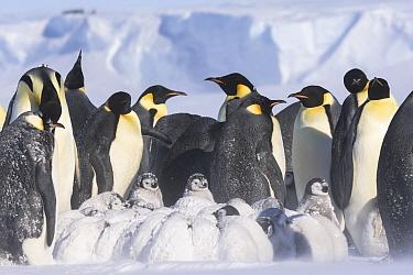 Emperor penguins (Aptenodytes fosteri) colony with chicks, age 9-12 weeks, Antarctica.