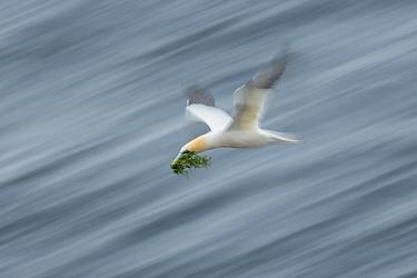 Northern Gannet (Morus bassanus) with nesting material, Great Saltee Island, Co. Wexford, Ireland. June.