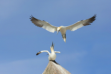 Northern Gannet (Morus bassanus) pair, with one flying to the other, Great Saltee Island, Co. Wexford, Ireland, June.
