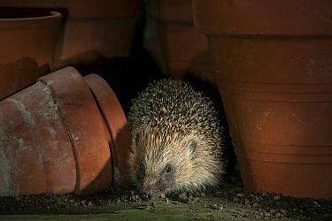 Hedgehog (Erinaceus europaeus) in flower pots, Uplyme , Devon, England, UK, July.