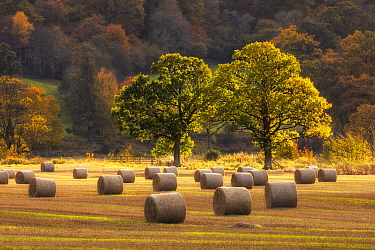 Harvest scene with round straw bales, near Pitlochry, Perthshire, Scotland, October 2019.