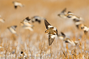 Snow Bunting (Plectrophenax nivalis) banking in flight over snow-covered field, others flying in the background, Ithaca, New York, USA Digitally retouched image (distraction removed from background)