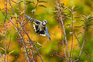 Blue jay (Cyanocitta cristata) in flight carrying an acorn that it will cache for winter food supply, New York, USA, October.
