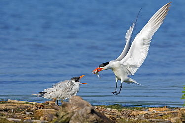 Caspian terns (Sterna caspia), adult arrives with fish to feed begging juvenile, late summer, Cayuga Lake, Ithaca, New York, USA, August.