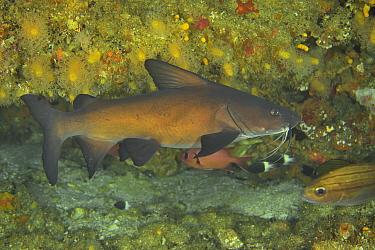 Black seacatfish (Galeichthys ater) Kwazulu-Natal, South Africa