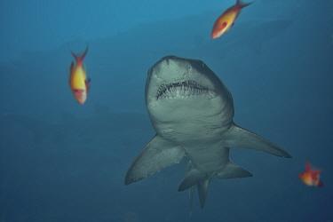 Sand tiger / Grey nurse shark (Carcharias taurus) Kwazulu-Natal, South Africa