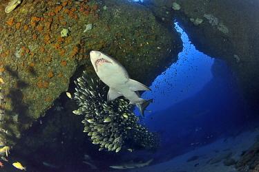 Sand tiger / Grey nurse sharks (Carcharias taurus) on the reef of Aliwal shoal with a school of striped grunters (Pomadasys striatus) Kwazulu-Natal, South Africa
