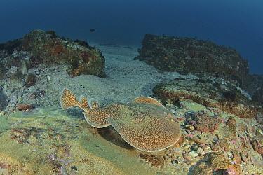 Marbled torpedo ray (Torpedo sinuspersici) swimming on top of the reef, Kwazulu-Natal, South Africa