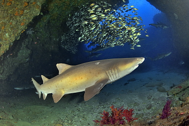 Ragged tooth / Sand tiger sharks (Carcharias taurus) on the reef of Aliwal shoal with a school of striped grunters (Pomadasys striatus) in the background, Kwazulu-Natal, South Africa.