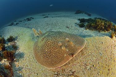 Marbled torpedo ray (Torpedo sinuspersici) Kwazulu-Natal, South Africa.