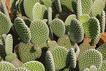 Angel wings / Polka-Dot cactus (Opuntia microdasys albispina), a Mexican species, Botanicactus Botanic Gardens, Ses Salines, Mallorca, August.