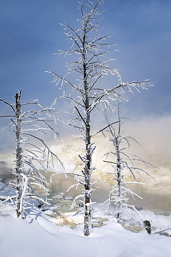Frosted trees in the Canary Springs area of Mammoth Hot Springs, Yellowstone National Park, Wyoming, USA. February.