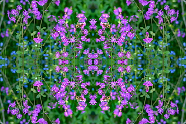 Red campion (Silene dioica) and Forget-me-nots (Myosotis sylvatica). Kaleidoscopic montage.