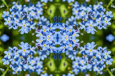For get me nots (Myosotis sylvatica). Kaleidoscopic montage.