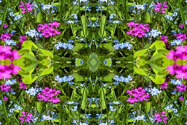 For get me nots (Myosotis sylvatica) and Pink sorrel (Oxalis articualta). Kaleidoscopic montage.