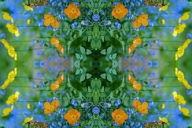 Welsh poppies (Papaver cambricum) and Forget-me-nots (Myosotis sylvatica). Kaleidoscopic montage.