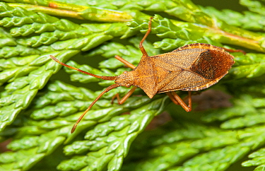 Box bug (Gonocerus acuteangulatus) on leylandii, Bristol, UK, March.