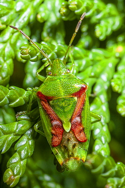 Juniper shield bug (Cyphostethus tristriatus) on leylandii, Bristol, UK, March