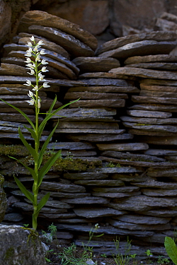 Narrow leaved hellebore (Cephalanthera longifolia) Grands Causses Regional Park, Aveyron, France, May.